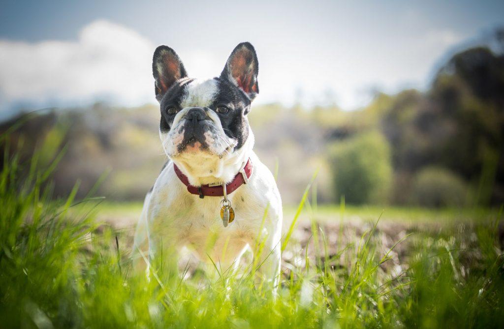 Desparasitación de Bulldog Frances, El Arca del Frances