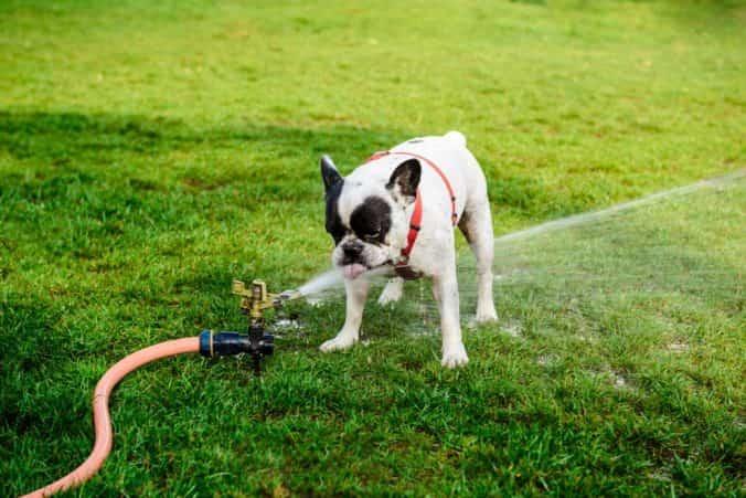 Golpe de calor en Bulldog Frances