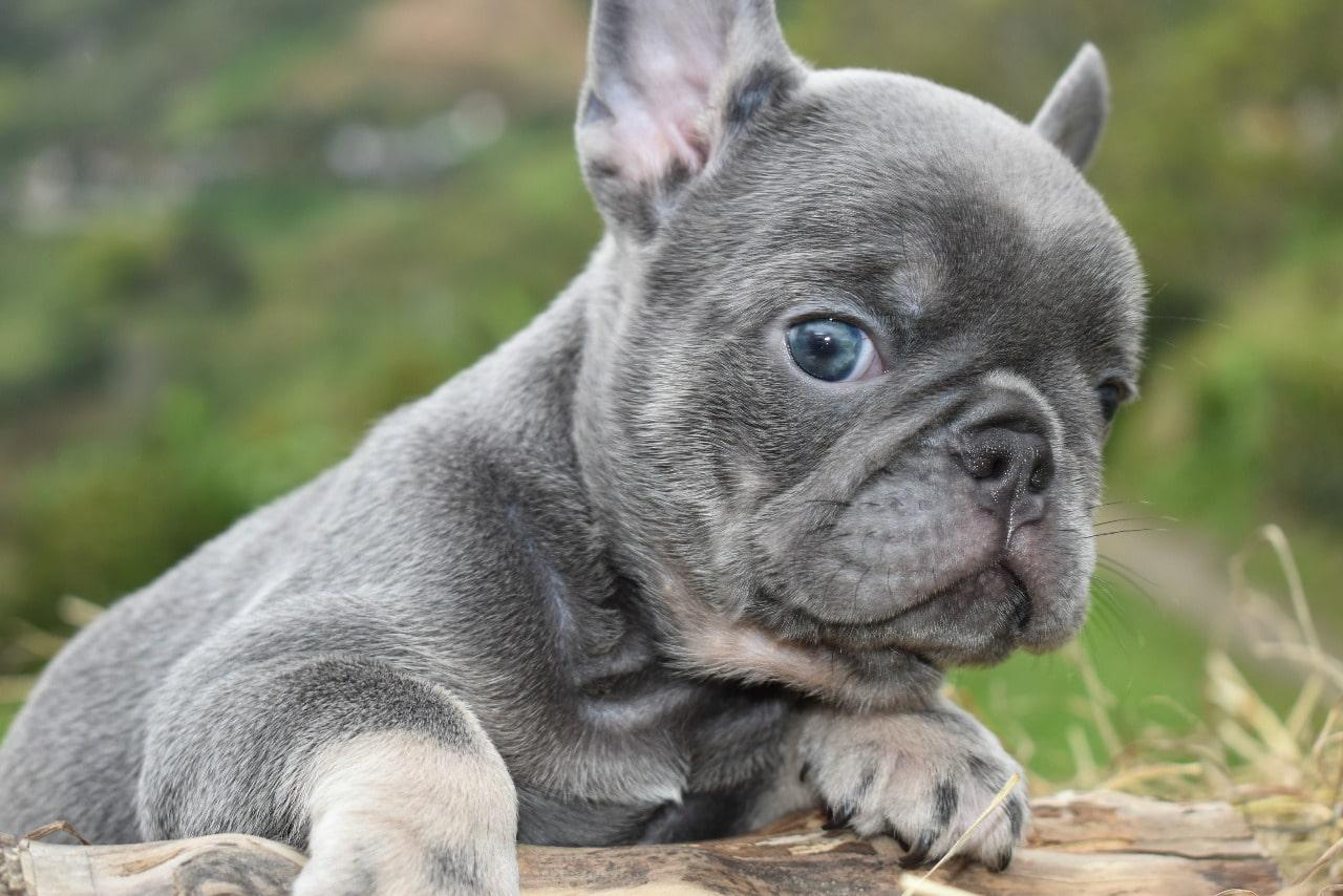 Bulldog Frances exotico