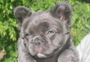 Bulldog Frances Fluffy